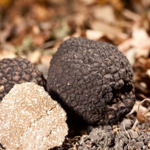Black truffles tuber on leaves
