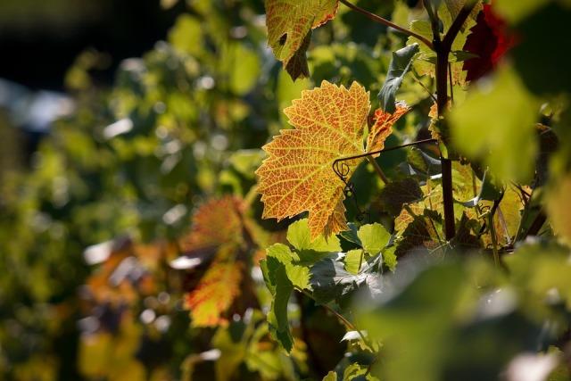 vineyard-983175_960_720